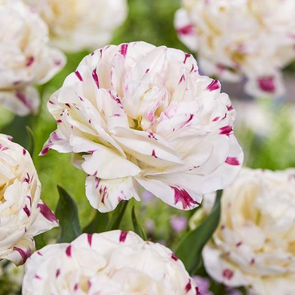Bilde av Tulipan Double Danceline - 6 løk