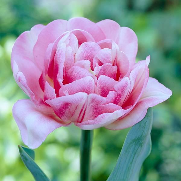 Bilde av Tulipan Foxtrot - 10 løk