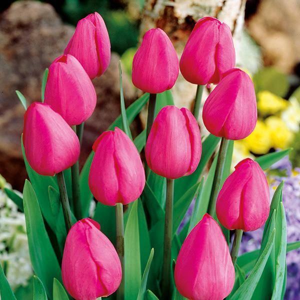 Bilde av Tulipan Don Quichotte - 10 løk