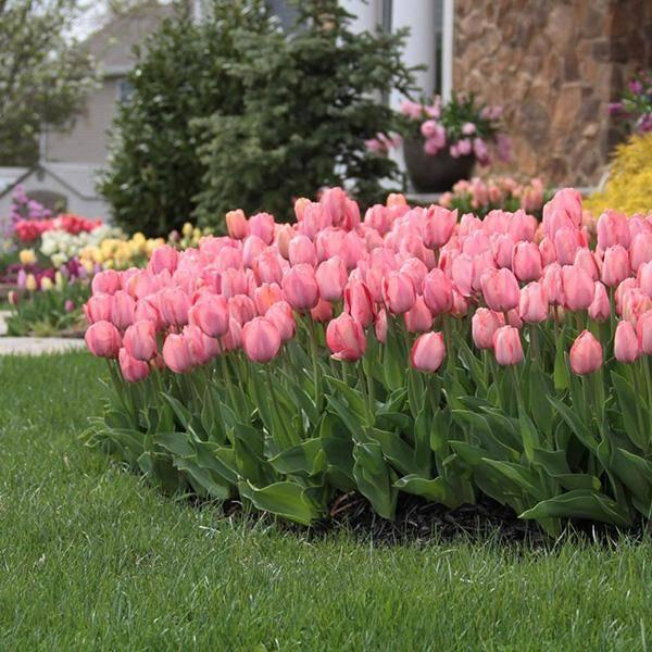 Bilde av Tulipan Mystic van Eijk - 30 løk