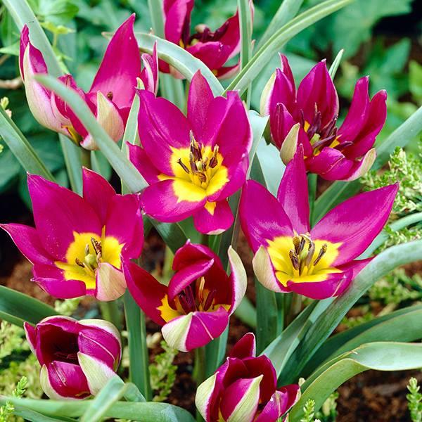 Bilde av Botanisk tulipan Persian Pearl - 8 løk