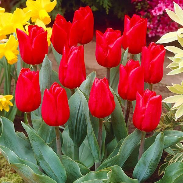 Bilde av Tulipan Merry Christmas - 10 løk