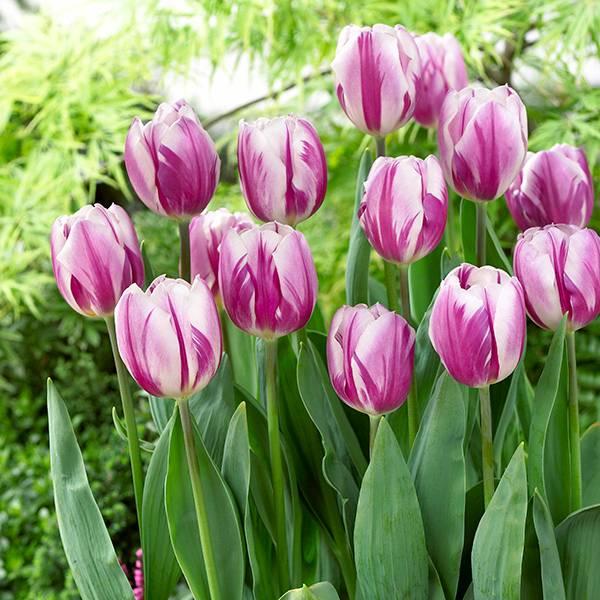 Bilde av Tulipan Flaming Flag - 10 løk