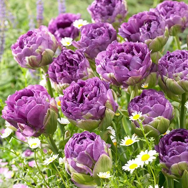 Bilde av Tulipan Blue Wow - 7 løk - Nyhet!