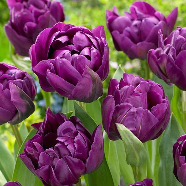 Bilde av Tulipan Negrita Double - 8 løk
