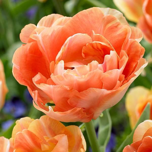 Bilde av Tulipan Charming Beauty - 6 løk