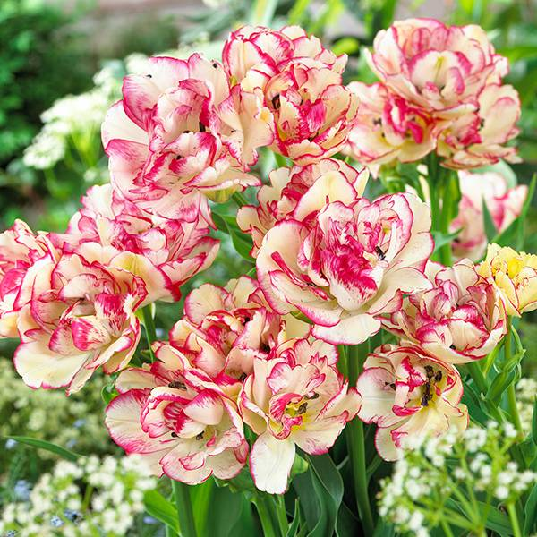 Bilde av Tulipan Belicia - 6 løk
