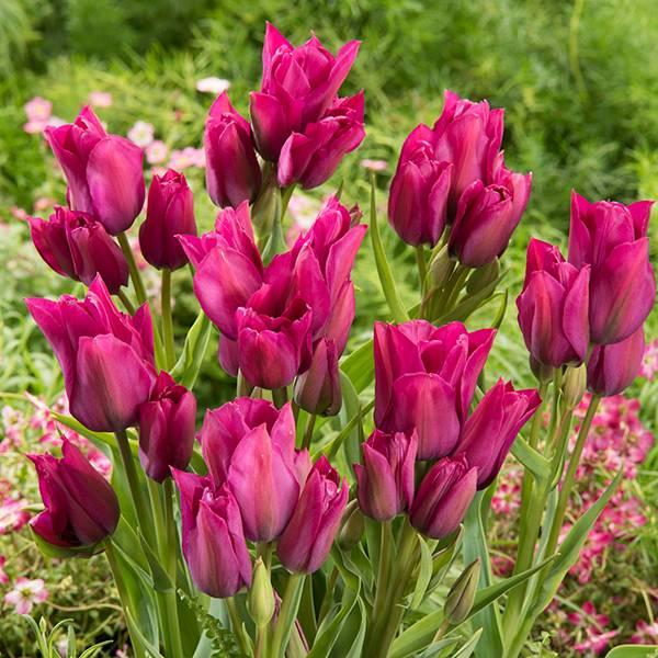 Bilde av Tulipan Night Club - 6 løk