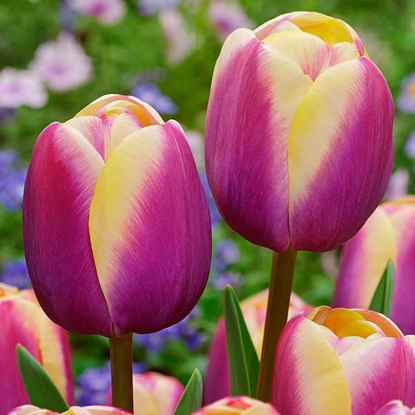 Bilde av Tulipan Atlantis - 10 løk