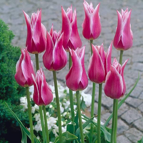 Bilde av Tulipan Maytime - 6 løk