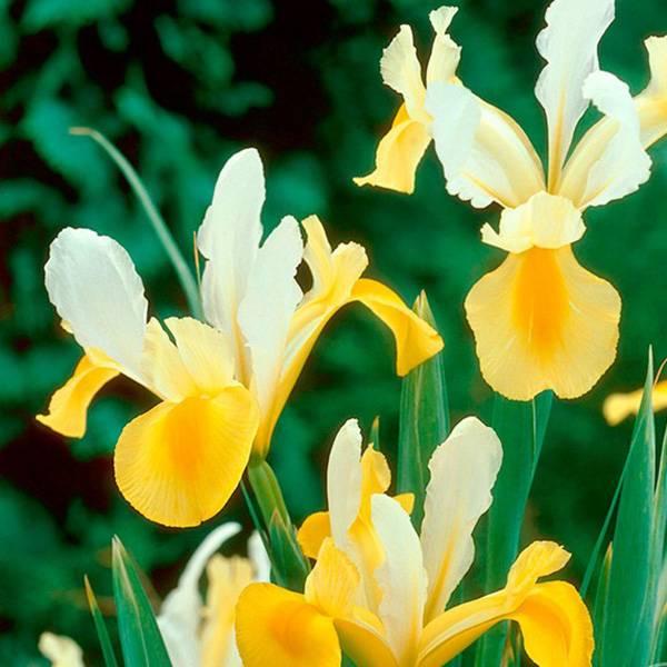 Bilde av Iris hollandica Montecito - 10 løk