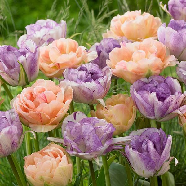 Bilde av Tulipan Charming Beauty/Double Shirley - 12 løk