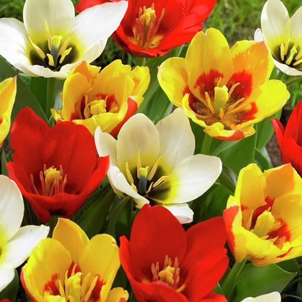 Bilde av Greigii-tulipaner i blanding - 8 løk