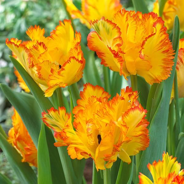 Bilde av Tulipan Caribbean Parrot - 5 løk