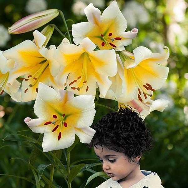 Bilde av Lilje Miss Peculiar  - 3 liljeløk