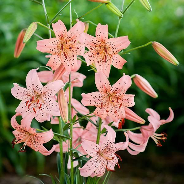 Bilde av Lilje Pink Giant - 3 liljeløk
