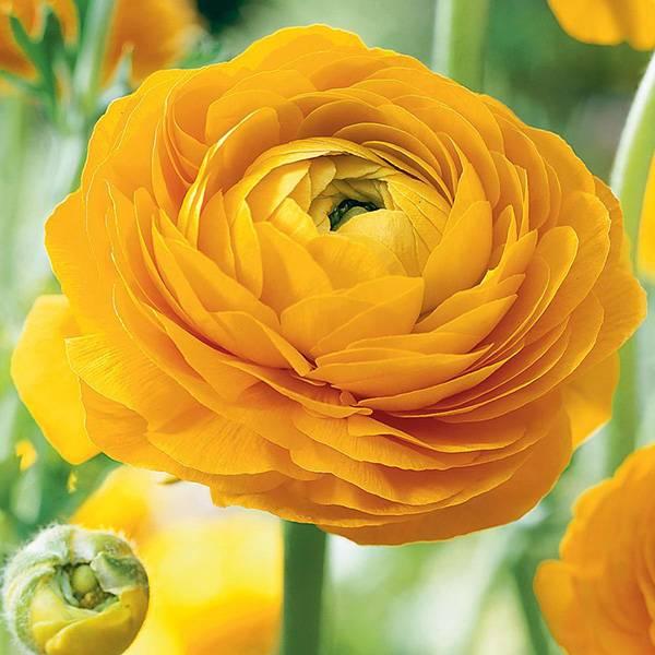 Bilde av RANUNCULUS 'Yellow'. Hageranunkel. 10 stk. Nyhet!